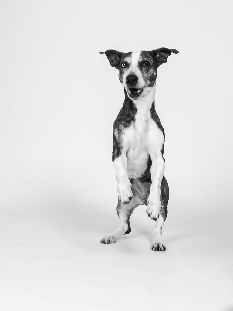 black and white dog standing on back legs