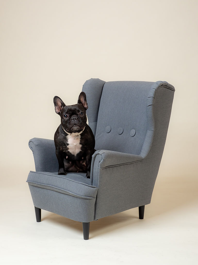 french bull dog sitting in small child's winged arm chair