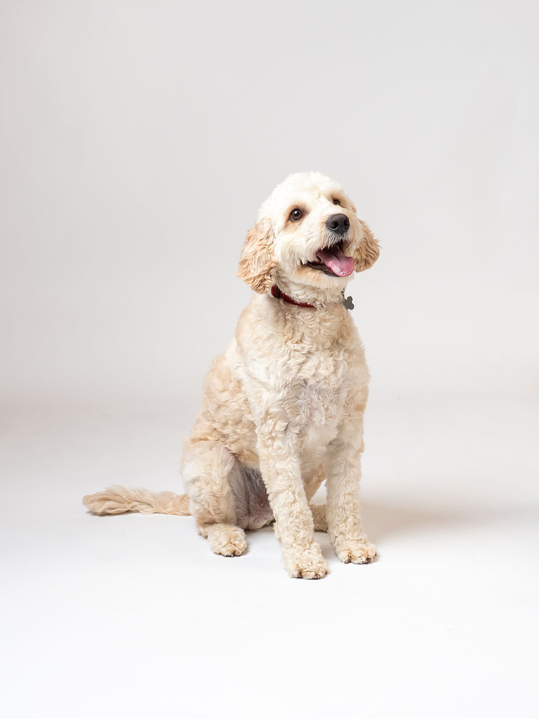 white poodle sitting on photography studio floor against white background